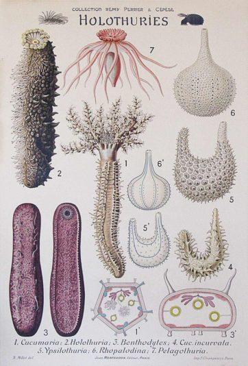 Holothuries
